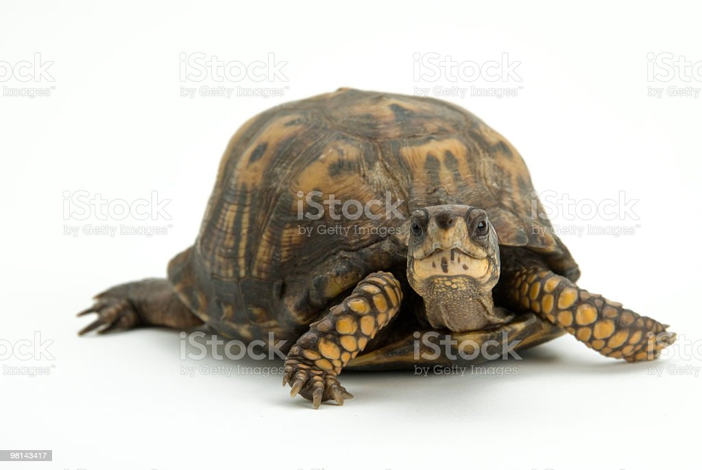 eastern box turtle royalty-free stock photo