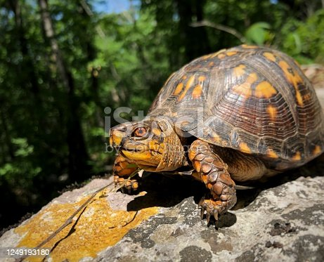 Adult Male Eastern box turtle showing his color on a lichen covered rock