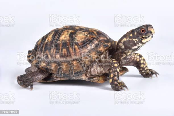 Eastern box turtle terrapene carolina carolina picture id866083566?b=1&k=6&m=866083566&s=612x612&h=p5zuijb9zdhikkpr25uup b gzcmnq6fl8hdle613sk=