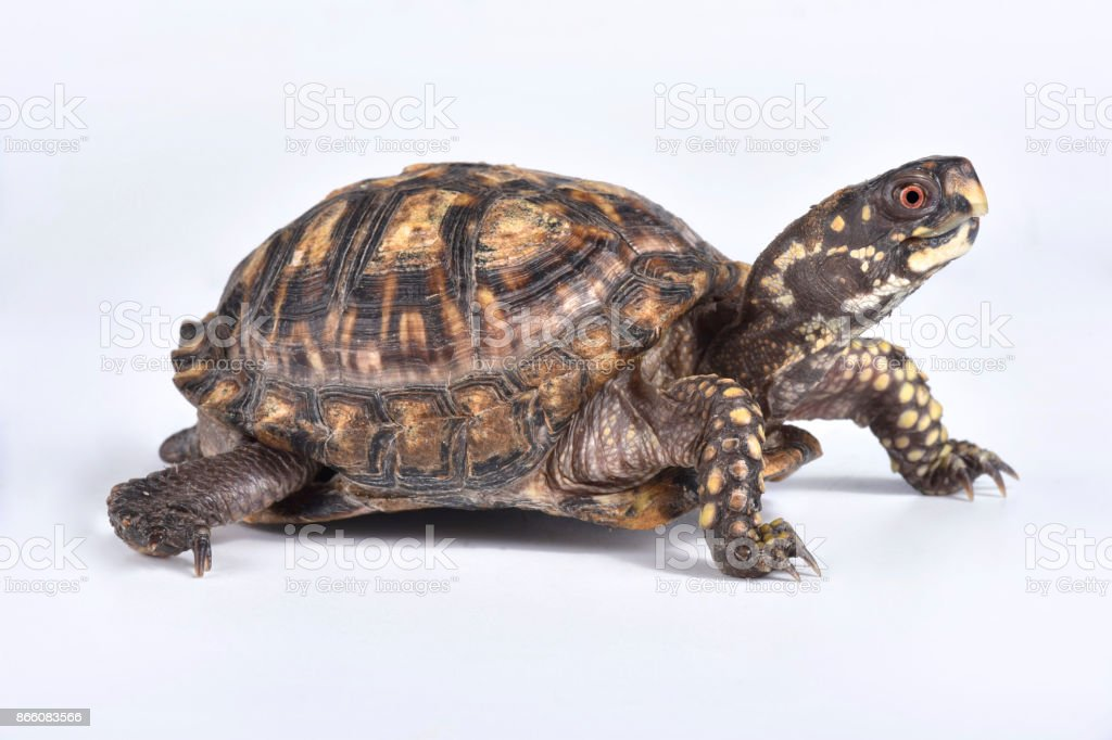 Eastern box turtle, Terrapene carolina carolina stock photo