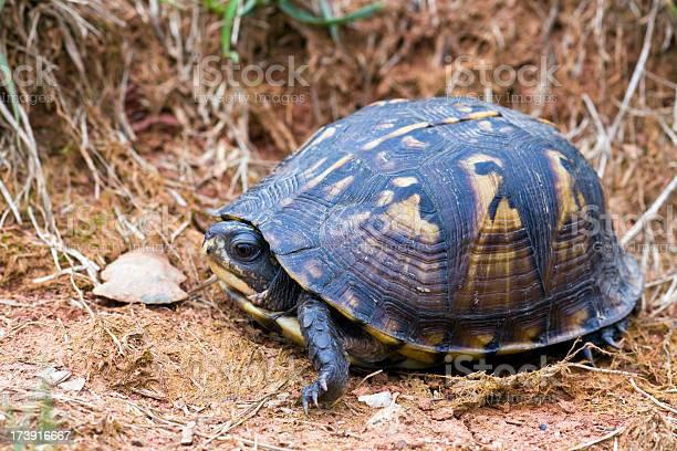 Eastern box turtle tortoise picture id173916667?b=1&k=6&m=173916667&s=612x612&h=1sz4a85 za6rnlfua3l7njf5j0fs8yk9nvwuy tyulm=