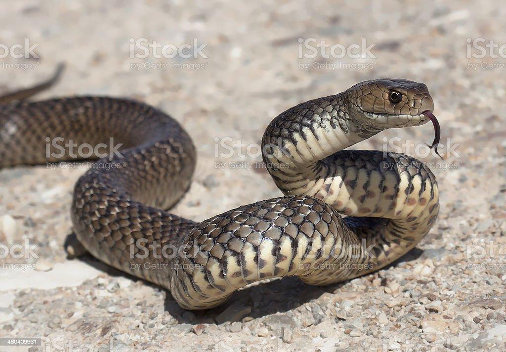 Eastern marrón serpiente - foto de stock