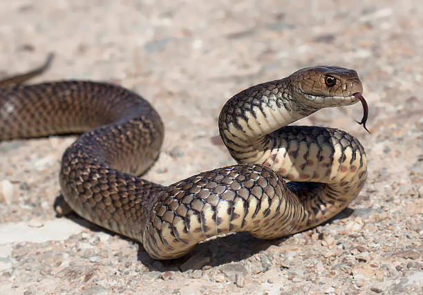 Eastern Brown Snake stock photo