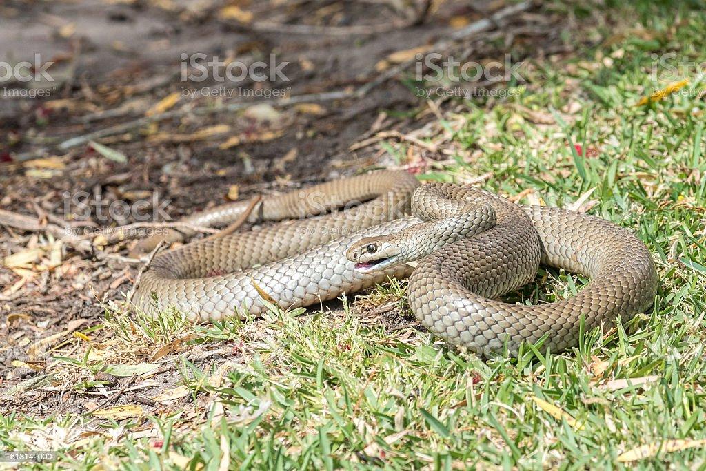 Eastern Brown snake foto de stock libre de derechos