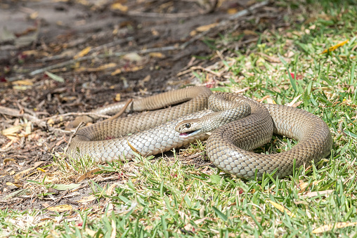Eastern Brown Snake Foto de stock y más banco de imágenes de Australia