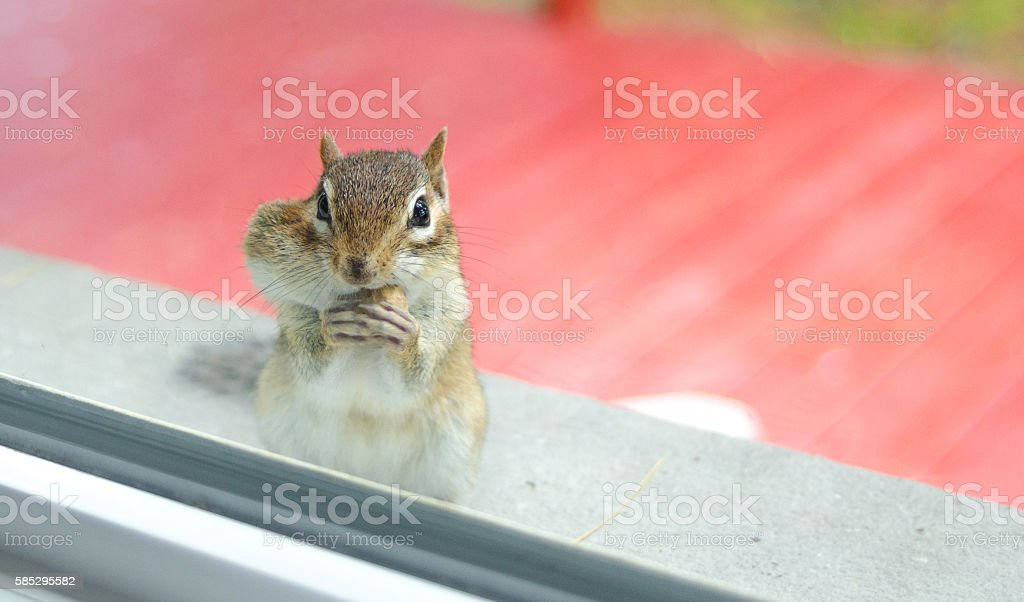 Eastern chipmunk eats peanuts while peering through window from outside. stock photo