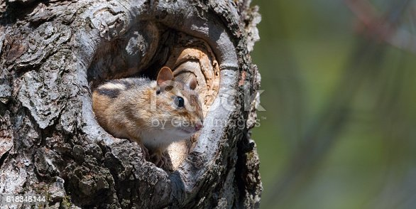Eastern Chipmunk (Tamias), smallest member of the squirrel family comes comes out of hiding in his hole in a maple tree