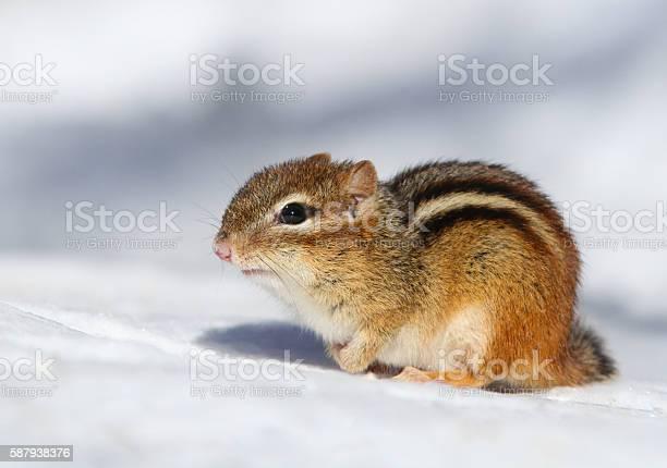 Photo of Eastern Chipmunk