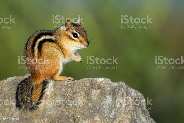 Photo of Eastern Chipmunk - Tamias striatus