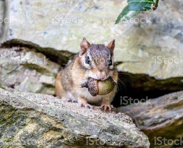 Photo of Eastern Chipmunk with Acorn