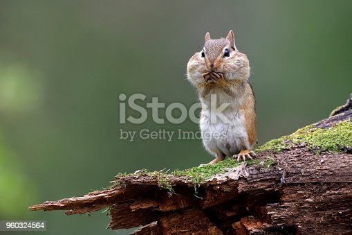Eastern Chipmunk (Tamias striatus) standing on a mossy log with its cheek pouches full of food - Lambton Shores, Ontario, Canada
