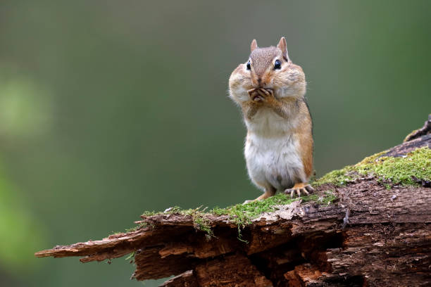 Eastern Chipmunk with its cheek pouches full of food Eastern Chipmunk (Tamias striatus) standing on a mossy log with its cheek pouches full of food - Lambton Shores, Ontario, Canada foraging stock pictures, royalty-free photos & images