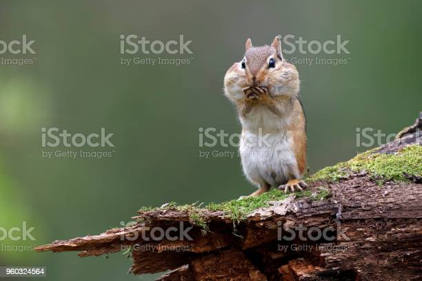 Photo of Eastern Chipmunk with its cheek pouches full of food