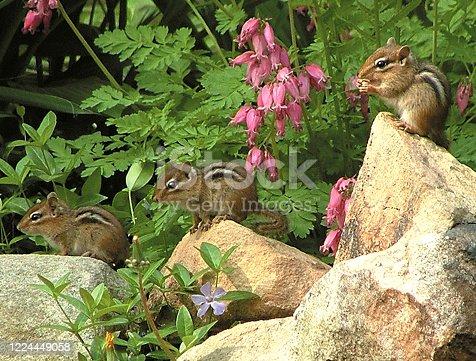 Three young Eastern Chipmunks near their nest