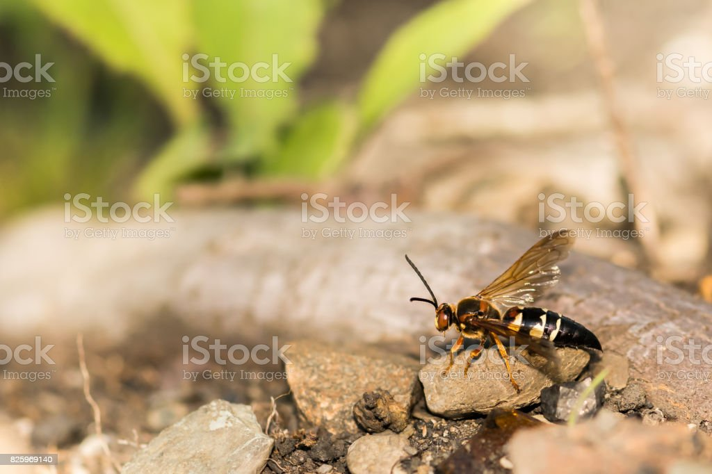 Eastern Cicada Killer stock photo