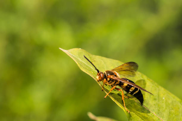 eastern cicada killer - killer stock pictures, royalty-free photos & images