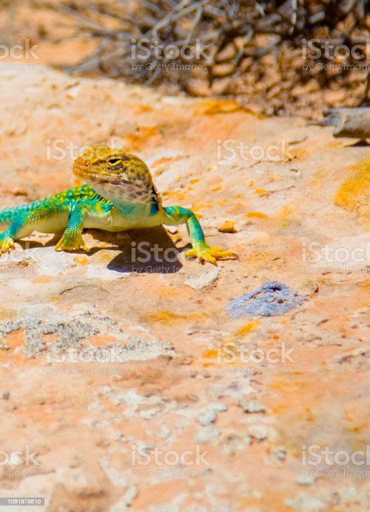 Eastern Collard Lizard stock photo