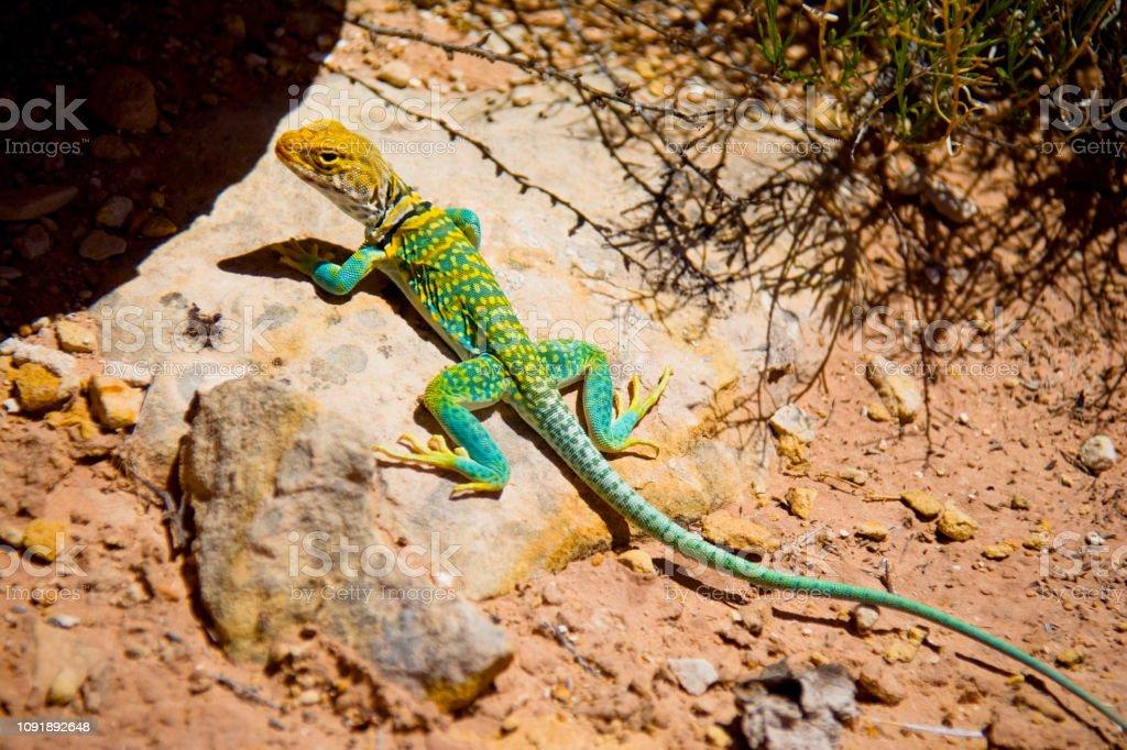 Eastern Collared Lizard stock photo