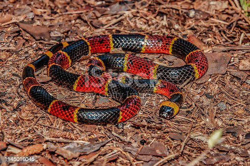 A close up of an Eastern Coral Snake in Florida.