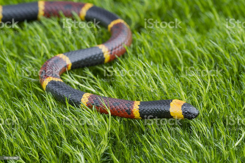 Eastern Coral Snake stock photo