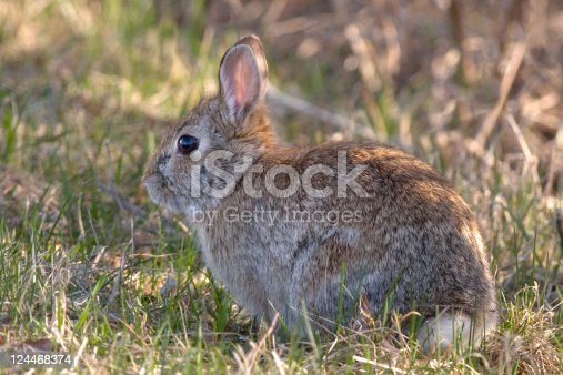 Eastern Cottontail (Sylvilagus floridanus) hare rabbit in grass