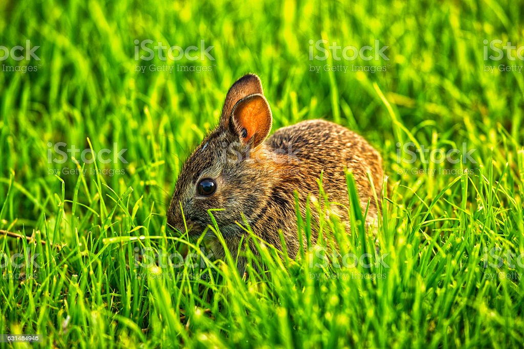 Eastern Cottontail rabbit eating grass stock photo
