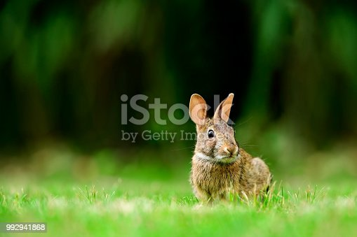 Eastern cottontail rabbit (Sylvilagus floridanus) in the open grassy field in British Columbia, Canada