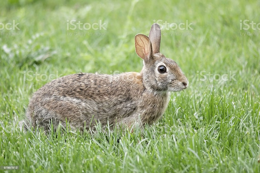 Eastern Cottontail Rabbit in grass royalty-free stock photo