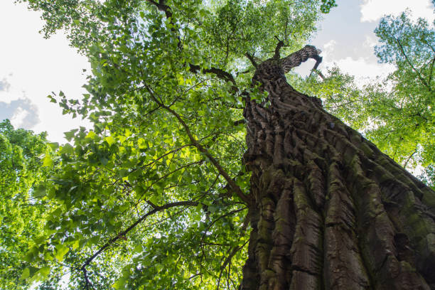 Eastern cottonwood tree seen upwards Eastern cottonwood tree in a forest seen upwards against a blue sky cottonwood tree stock pictures, royalty-free photos & images