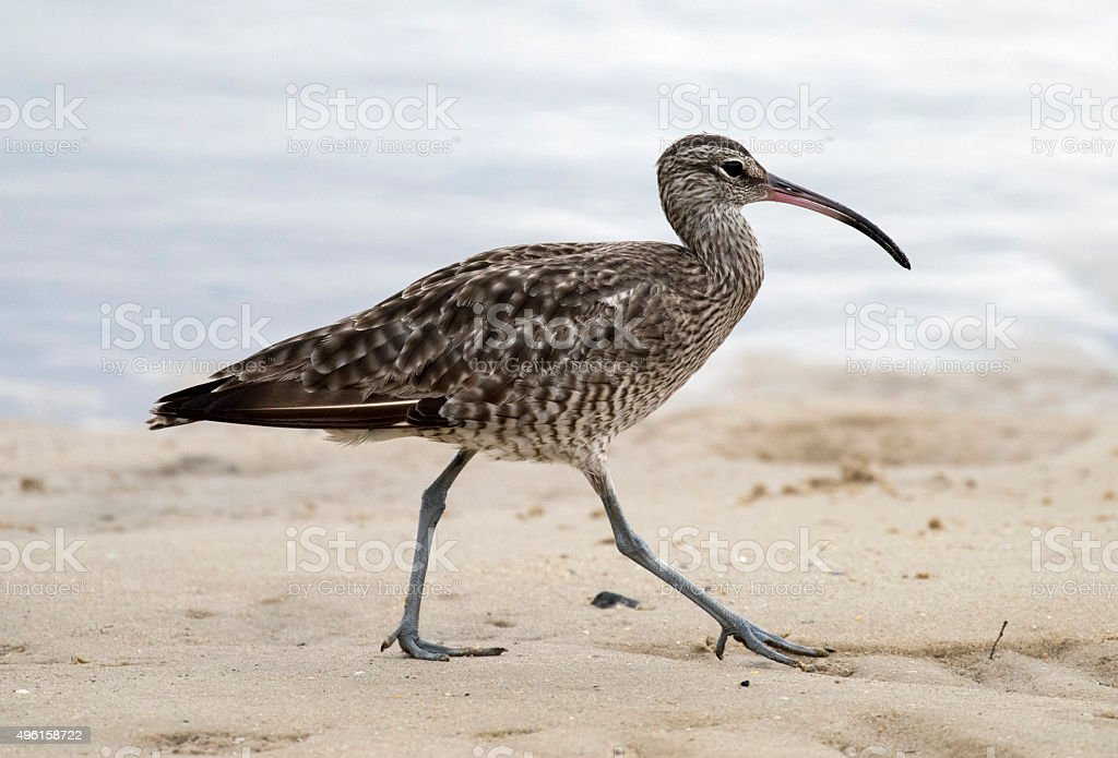 Eastern curlew stock photo