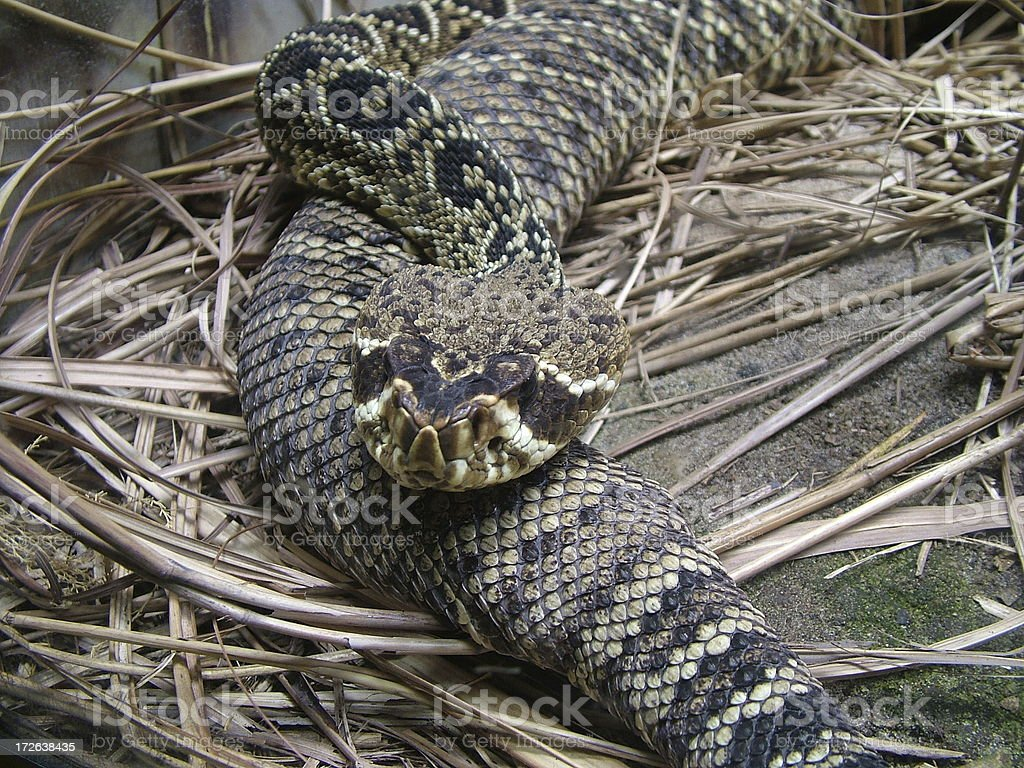 Eastern Diamondback Rattle Snake royalty-free stock photo