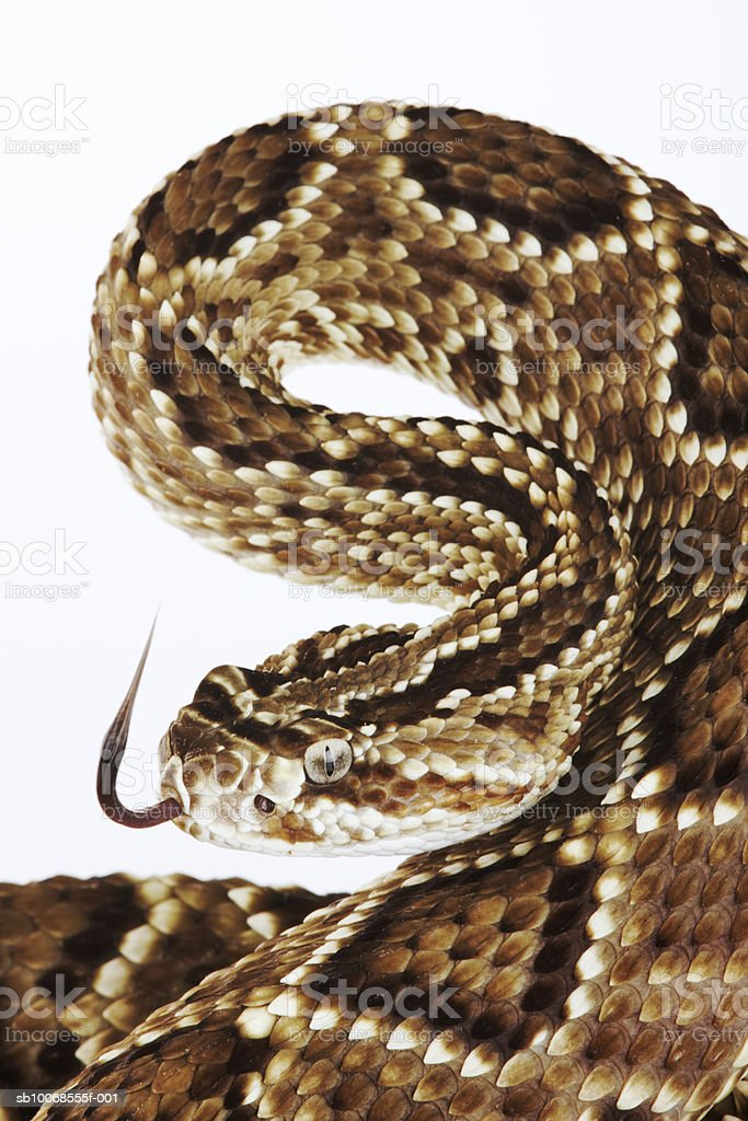 Eastern diamondback rattlesnake (Crotalus adamanteus) against white background, close-up royalty-free stock photo