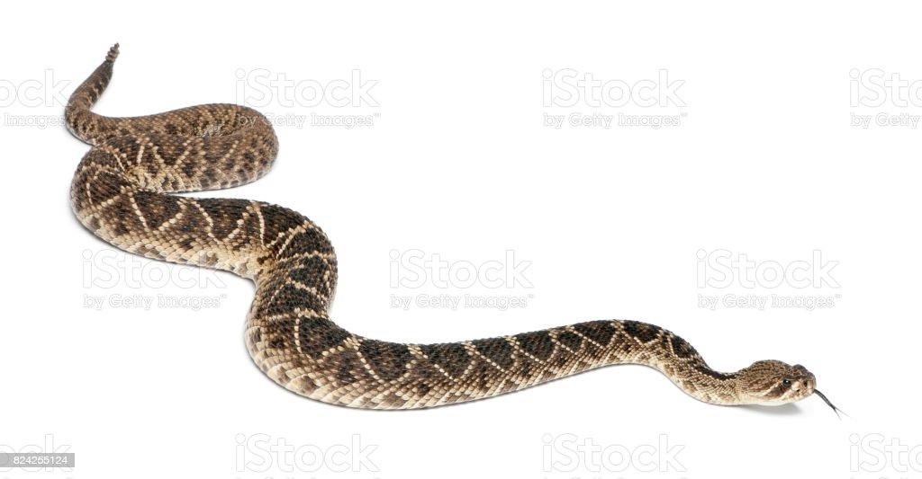 eastern diamondback rattlesnake - Crotalus adamanteus , poisonous, white background stock photo