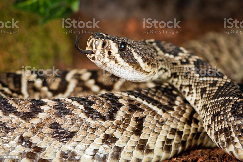Eastern Diamondback Rattlesnake (Crotalus Adamanteus) stock photo