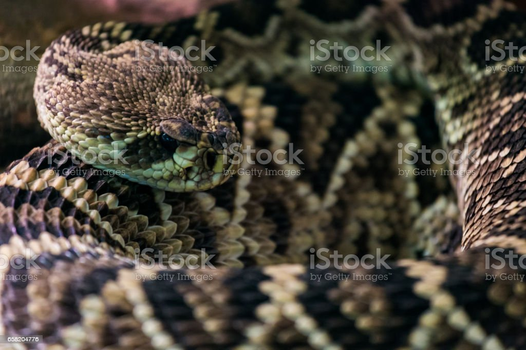 Eastern diamondback rattlesnake stock photo