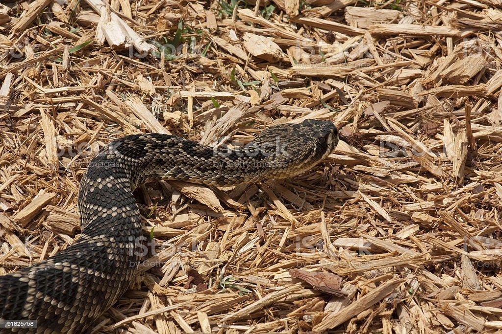 Eastern Diamondback Rattlesnake royalty-free stock photo