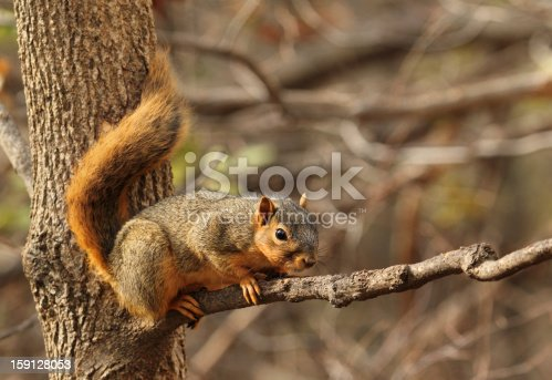 Eastern fox squirrel, Sciurus niger, on a tree branch