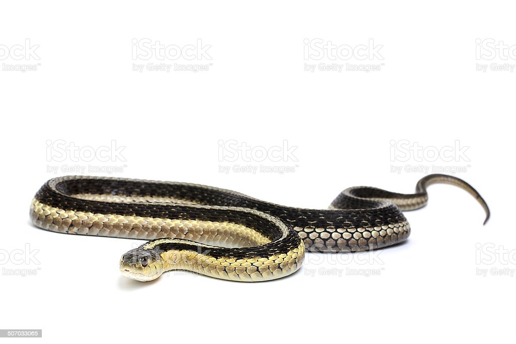 Eastern Gartersnake stock photo