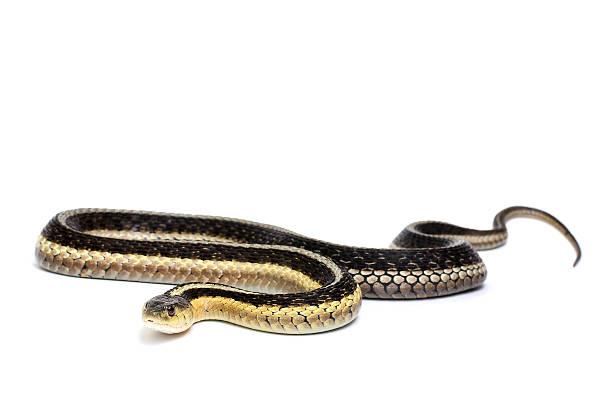 eastern gartersnake - schwarze schlange stock-fotos und bilder