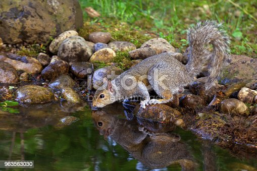 An Eastern Gray Squirrel drinks from the edge of a small pond in Washington.