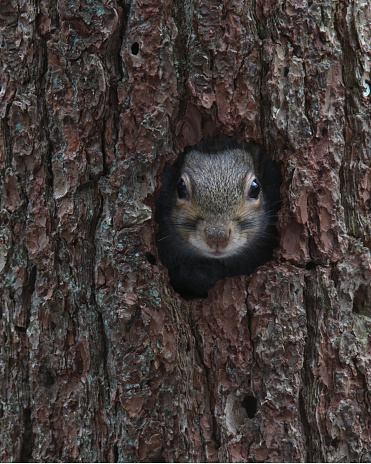 Eastern gray squirrel looks out of a tree hole