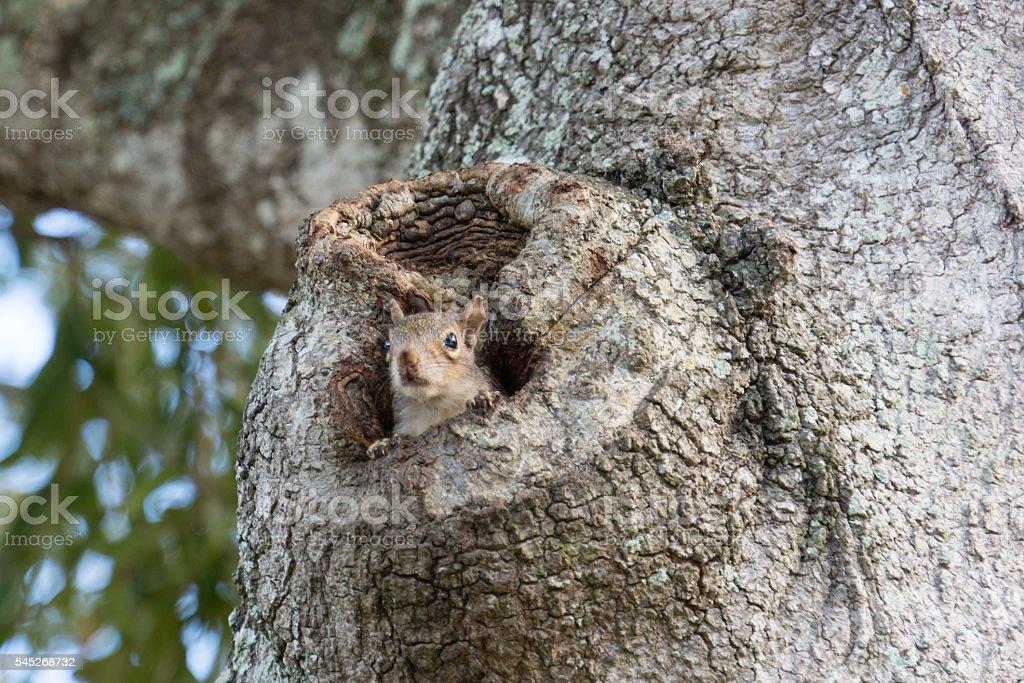 Eastern Gray Squirrel Peeking from Oak Tree Hollow II stock photo