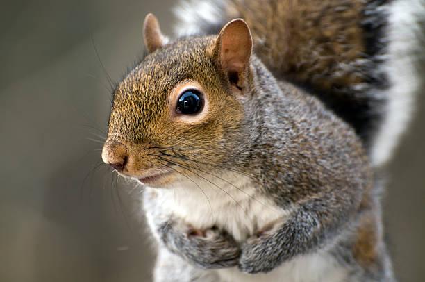 eastern gray squirrel (sciurus carolinensis) - squirrel stock photos and pictures