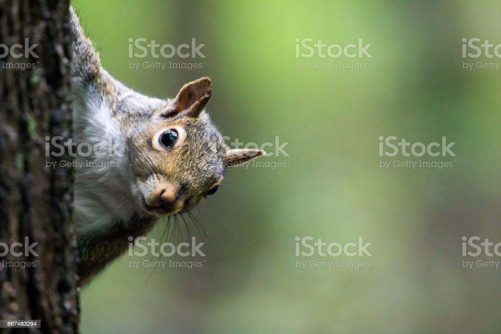 Ardilla de las Carolinas-Sciurus carolinensis - foto de stock