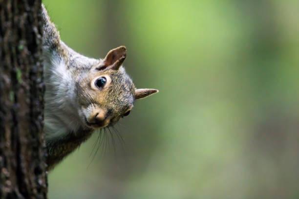 eastern gray squirrel - sciurus carolinensis - squirrel stock photos and pictures