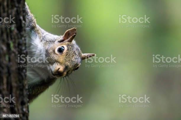Photo of Eastern Gray Squirrel - Sciurus carolinensis