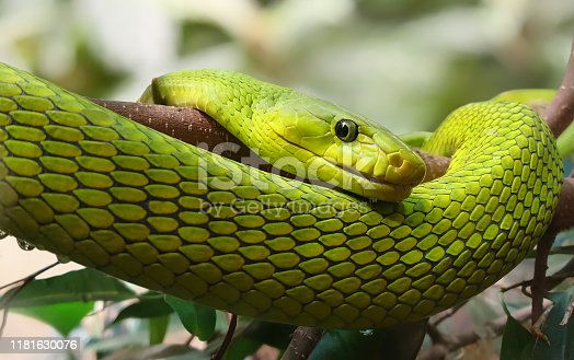 Close-up view of an Eastern Green Mamba (Dendroaspis angusticeps)