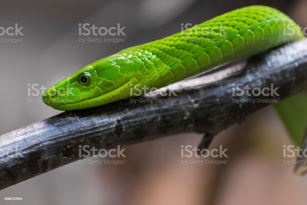 Eastern green mamba stock photo