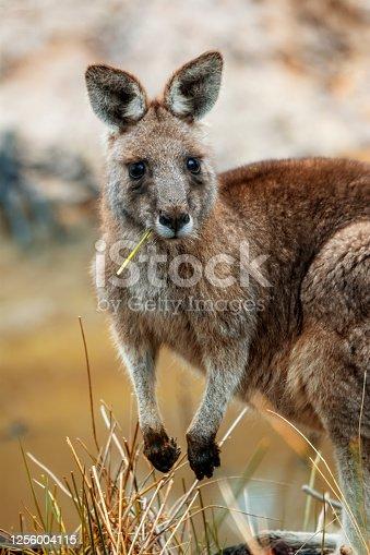 Close up of an Eastern Grey kangaroo in the wild