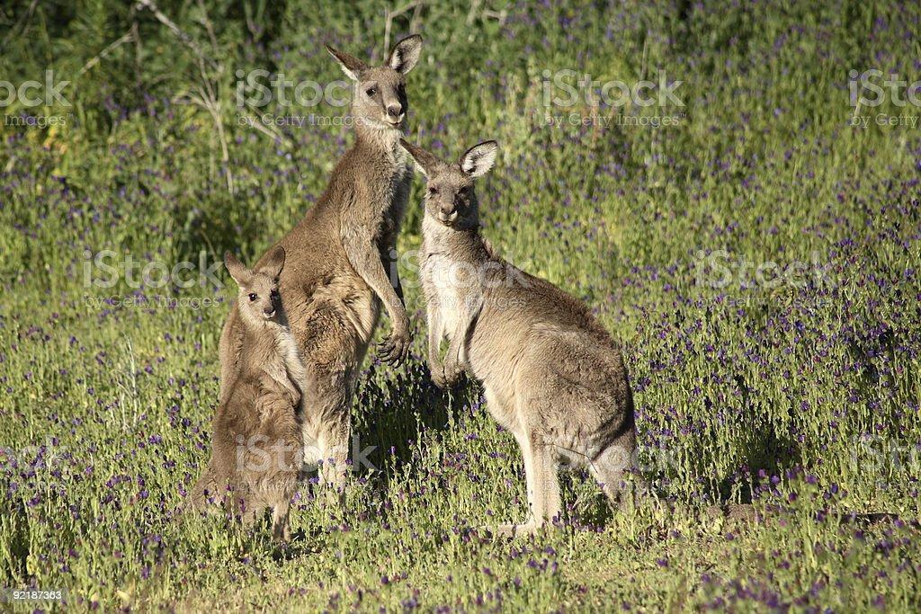 Eastern Grey Kangaroo Family royalty-free stock photo